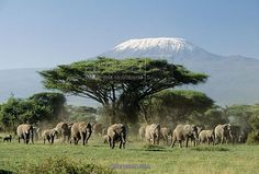 14x12 (38x32cm) Framed Print featuring FL-1714 African ELEPHANT - herd infront of Mt. Kilimanjaro Amboseli National Park, Kenya, Africa. Wood grain effect frame with professionally mounted print. Overall outside dimensions are 14x12 inch (363x312mm). Features hardboard back stapled in with hanger and glazed with durable Styrene Plastic to provide a virtually unbreakable glass-like finish. Easily cleaned with a damp cloth. Moulding is 40mm wide by 15mm thick.