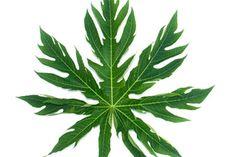 Es posible que el té de hoja de papaya ofrezca algunos efectos medicinales.