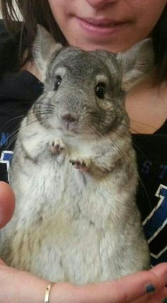 I love Chinchillas. I have had 15 chinchillas... Now I have 5  I'm miss my babies.