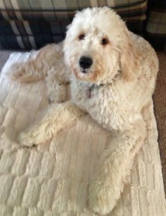 THIS LOOKS LIKE MY GOLDEN DOODLE IN THE WINTER :O only my golden doodle is like a light brown!