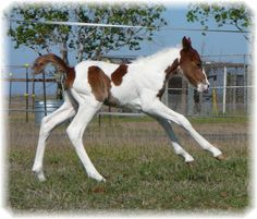 Baby Paint Horse :)