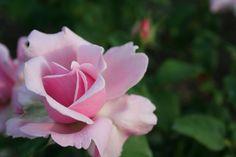 'Memorial Day' rose