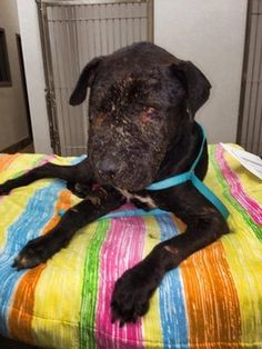 """LOCAL AUTHORITIES INVESTIGATING Battered black dog, presumed to have been used as 'bait' is left for dead in Osceola County FL. His face covered in horrific bite wounds & his eyes so infected that they could not be opened. Dubbed """"Titan,"""" was discovered by good samaritan, who helped get him to an emergency veterinarian for care. """"Titan"""" under Furever Bully Love Rescue wings, Donations or info contact: Crystal Creek Animal Hospital (407) 203-0741"""