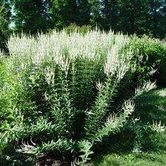 White Culver's root - great for hummingbirds. Zones 3 to 8 DETA-3312.jpg (300×300)