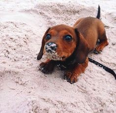 Somebody got sand on my Weiner dog