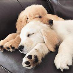 Champion Dogs: German Shepherd: Golden Retriever: Labrador Retriever: Beagle: Siberian Husky: Pit Bull Terrier: Chihuahuas: Pomeranian: Dog Tips and Ideas: Cute Baby Animals, Animals And Pets, Funny Animals, Cute Puppies, Cute Dogs, Dogs And Puppies, Doggies, Dalmatian Puppies, Retriever Puppy
