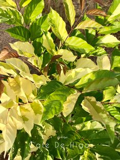 Tropical and Variegated Plants by Cafe De Higos. Variegated Plants, Fiddle Leaf, Plant Leaves, Tropical, Patio, Green, Instagram, Figs, Terrace