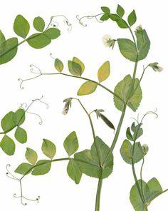 Sweet Pea Botanical Print – Kitchen Decor, Garden Art, Gift for Gardener - 5X7, 8X10, 11X14 or 16X20