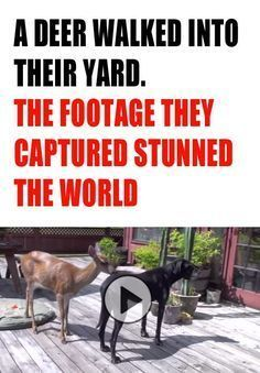 Anyone who thinks that animals don't show emotion and develop friendships needs to see this stunning video! This deer not only befriends a loving Great Dane, but also the family cat! When the deer started playing with the dog at my soul literally melted. Animals And Pets, Baby Animals, Funny Animals, Cute Animals, Clever Animals, Funny Pets, Funny Boxer Puppies, I Love Dogs, Puppy Love