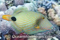 Orange-lined Triggerfish Balistapus undulatus