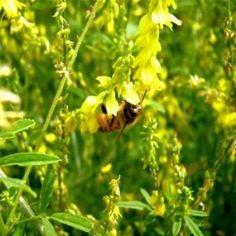 Yellow Sweet Clover Seed: Nitro-Coated, Inoculated - 5 LBS by Outsidepride: Clover Seed. $19.99. Nice yellow blossom. Used for honey bees. Seeding Rate: 1/2 lb - 3/4 lb per 1,000 square feet or 20 to 30 lbs per acre. Drought resistant, winter-hardy. Biennial, Nitro-Coated, Inoculated Clover Seed. This is a branded, inoculated, Nitro-Coated clover seed sold by Outsidepride. Please ensure your clover seed comes from Outsidepride or you are not buying Outsidepride seed. ...