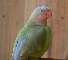Princess Parrot, Australia. Named for Princess Alexandra of Denmark, who married Prince Edward VII of Wales and became the Queen of England.