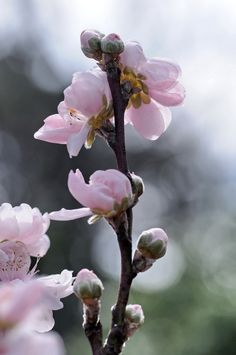 Early spring their scent Flower Drum, Early Spring Flowers, Silk Arrangements, Spring Sign, Spring Has Sprung, Belleza Natural, Outdoor Plants, Trees To Plant, Rose