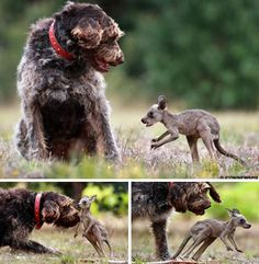 The dog, Rex, discovered a dead kangaroo on a Victorian road. Rex rescued the surviving joey, took it home, and delivered the baby kangaroo to his owner. Rex then adopted the kangaroo and they became the best of buds.