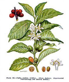 5] KOFFIE - getekende plant / COFFEE - drawn plant.