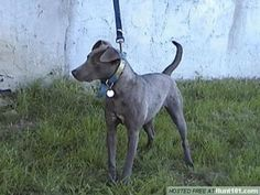 Texas Blue Lacy
