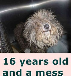 ~ Animal ID #A0803990 *** 16 Year Old SENIOR ALERT!!! *** ‒ I am a Female (Spayed), Gray Miniature Poodle. The shelter thinks I am about 15 years and 10 months old. I have been at the shelter since April 29, 2015. West Los Angeles Animal Care and Control Center Telephone ‒ (888) 452-7381 11361 West Pico Boulevard Los Angeles, CA Fax: (310) 207-4965 https://www.facebook.com/OPCA.Shelter.Network.Alliance/photos/pb.481296865284684.-2207520000.1430667550./816806888400345/?type=3&theater