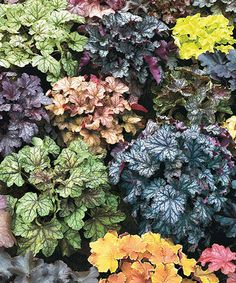 This Mixed Hybrid Heuchera Root - Set of Five by Spring Hill Nursery is perfect! #zulilyfinds