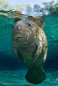 Young, curious manatee, in the light