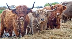 Highland Cattle just have the cutest faces