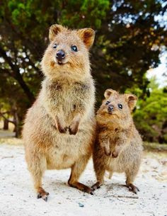 The Quokka, known as 'the happiest animal in the world', is native to small islands off the coast of Western Australia