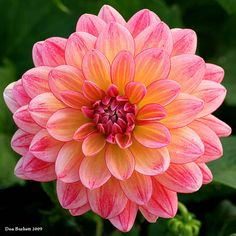 Dahlia. After 25 years, I finally picked these as my favorite flower. Maybe...