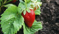 Set the stage for tasty strawberries, blueberries and brambles with these soil-boosting garden tips.