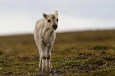 Svalbard reindeer calf