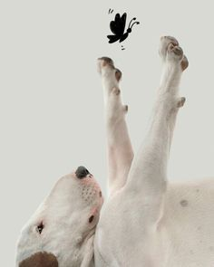 Uplifting So You Want A American Pit Bull Terrier Ideas. Fabulous So You Want A American Pit Bull Terrier Ideas. Pitbull Terrier, Chien Bull Terrier, Terrier Dogs, Terrier Mix, American Pit Bull Terrier, English Bull Terriers, Terrier Breeds, Dog Breeds, Dog Photos