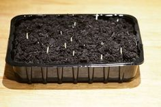 Suttons Seeds F1 Bodacious Sweet Corn Shoots pictured on the 3rd December 2015 - the day the seeds germinated.