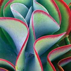 12 ideas from The New Sunset Western Garden Book | Kalanchoe thyrsiflora   - photo by Dennis Frates/ Alamy