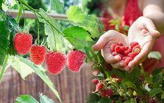 Obst anbauen auf Balkon und Terrasse: 10 Früchte, die gelingen