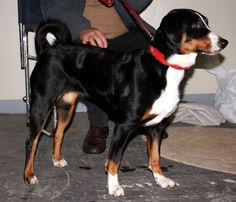 Appenzeller-Sennenhund-4.jpg (2214×1902)