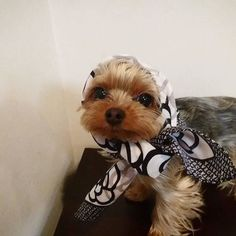 Yorkie Shout Outs Cute Little Puppies, Little Dogs, Cute Puppies, Cute Dogs, Cute Puppy Photos, Cute Animals, Animals And Pets, Yorky, Silky Terrier