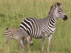 Mountain lion wildlife rubber stamp | Zebra – A Beautiful Horse-like Mammal