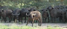 The #buffaloes in #Saadani National Park are in herds of up to 300 animals - quite frightening to get too close