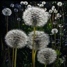 a dandelion family! Dandelion Painting, Dandelion Clock, Dandelion Wish, Dandelion Nursery, Dandelion Quotes, Taraxacum, Wild Strawberries, Daffodils, Belle Photo