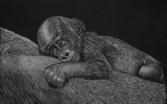 The Scratchboard Art of Natalie Zimmerman. Originals and giclee prints available for purchase. Scratchboard Art, Zimmerman, Austin Tx, Giclee Print, Lion Sculpture, Wildlife, Statue, Artist, Prints