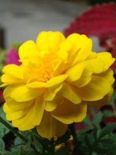 주학교안의 노란꽃