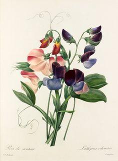Pierre Joseph Redouté -- Lathyrus odoratus -- Pierre-Joseph Redouté -- Artists -- RHS Prints