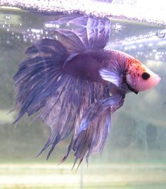 lavender crowntail betta what an amazing beautiful little fish. Alex would love this her favorite color. Pretty Fish, Beautiful Fish, Colorful Fish, Tropical Fish, Beautiful Creatures, Animals Beautiful, Cute Animals, Beta Fish, Siamese Fighting Fish