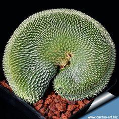 Turbinicarpus pseudopectinatus var. inermis forma cristata [Family: Cactaceae]