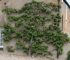 Espalier pear tree in Binham, Norfolk