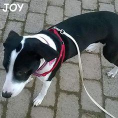 Hello everyone. 🐾🐾🐶 Follow JOY at her Facebook page for many more photos and videos:  https://www.facebook.com/JOYMixedBreedGirl/  #dog #instagramdogs #ilovemydog #instapuppy #dogfamily #doggie #ilovemypet #dogofinstagram #happydog #dogface #dogsofig #dogselfie #doglovers #dogsofinstaworld #petstagram #doglover  #petlover #instadog #dailypawwoof #happydog_feature #dogsubmit