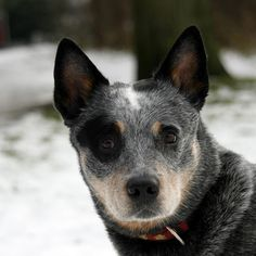 Another of my fave Cattle Dogs from the group at Flickr. This is Mick. Photo by Martine van Hooff