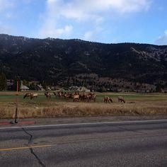 An Elk herd resting on Hole 8. Big Sky, Montana.
