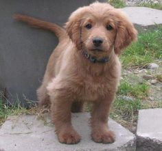 My next dog: golden cocker retriever; a puppy that looks like a puppy forever. This is a picture of it full-grown!