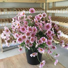 Next year, packets of these beauties will be sitting on those shelves in the background. Choosing #floretseeds varieties is one of my very favorite things to do. This beauty is Cosmos 'Daydream'. #growfloret