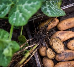 Spuds from the garden