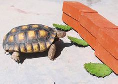 Provide your tortoise with a prickley pear cactus feeding station! #DIY - PetDIYs.com